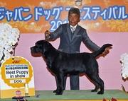 2015年11月28日 ブラフ クラス1席(ジュニア)リンダ W.B AOM ラスキーBISS(パピー)ジャパンドッグフェスティバル2015単犬種合同特別本部展