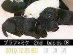 2010.12.25生 ミクXブラフ(2nd babies)
